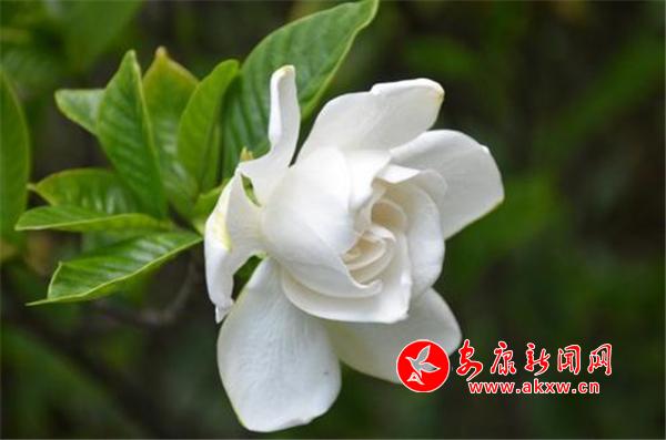 晚来骤yushan头过 栀子花开满院香